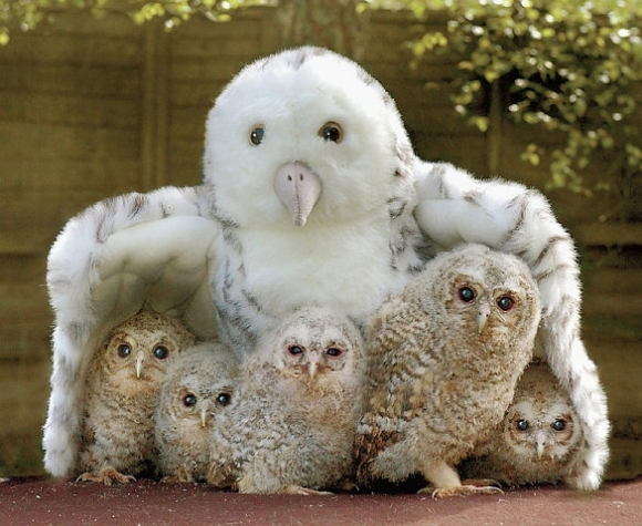 L-baby-owls-hiding-under-toy-owl